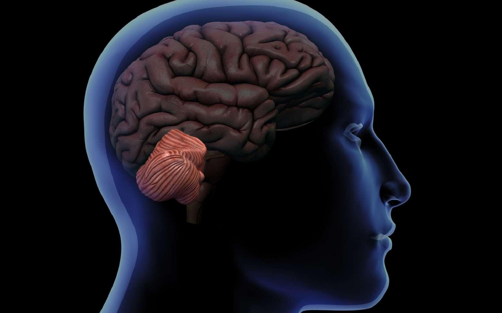 Le cervelet se trouve à l'arrière de l'encéphale. © HANK GREBE, Fotolia