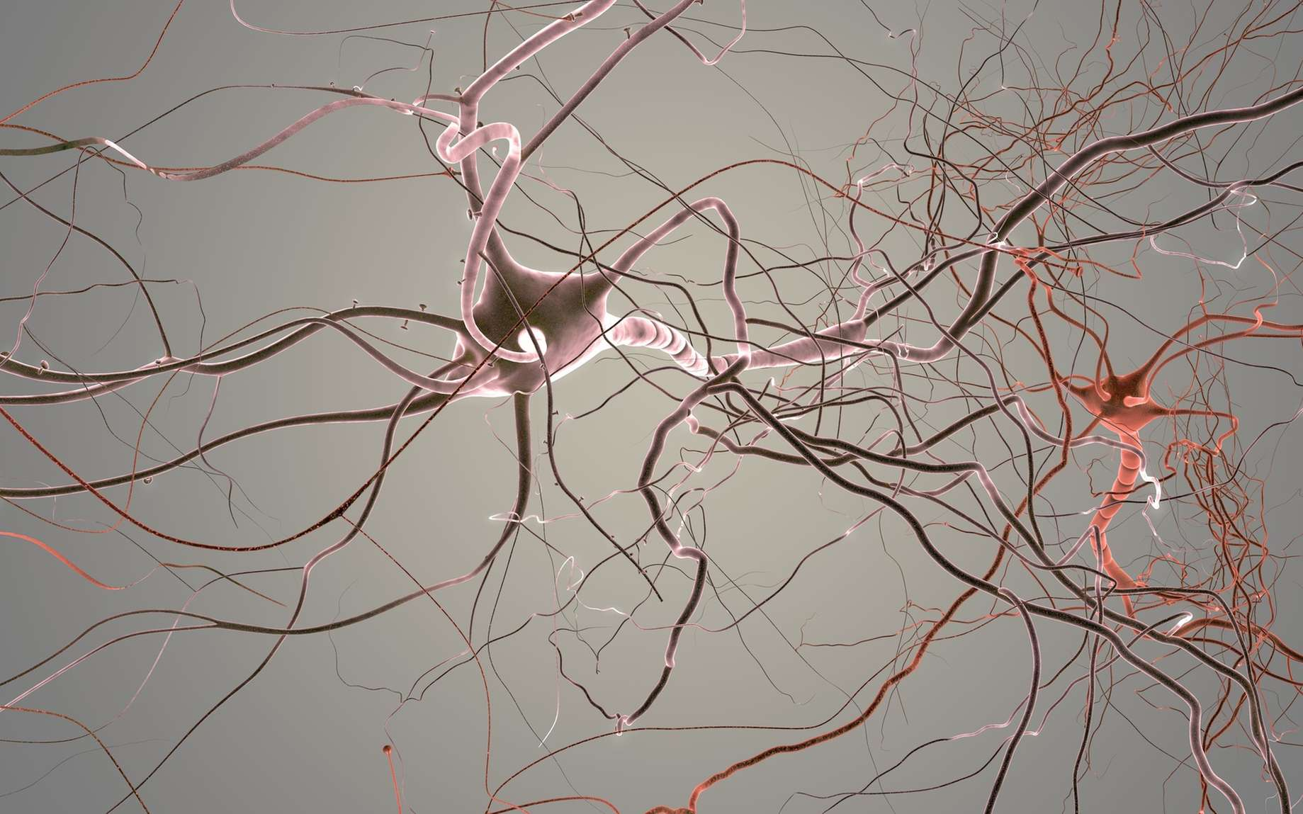 Le neurone bipolaire a un prolongement afférent (dendrite) et un prolongement efférent (axone). © whitehoune, Fotolia
