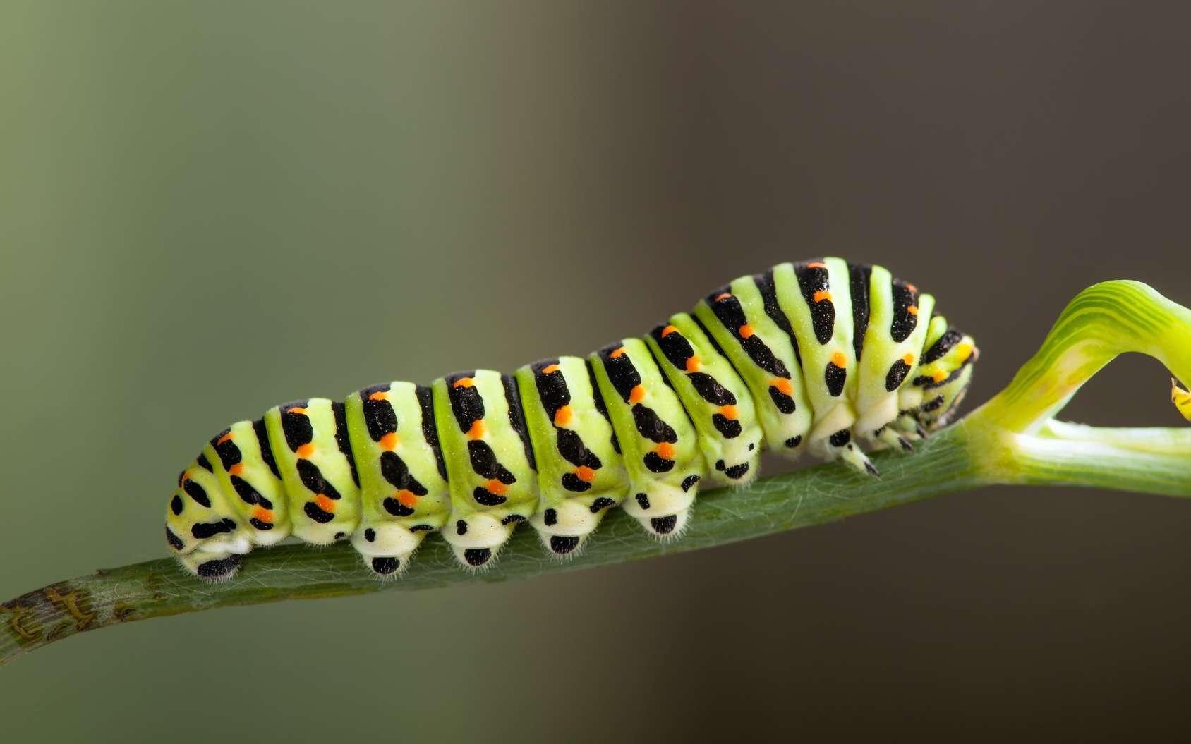 La chenille est une larve de papillon. © Chepko Danil, Fotolia