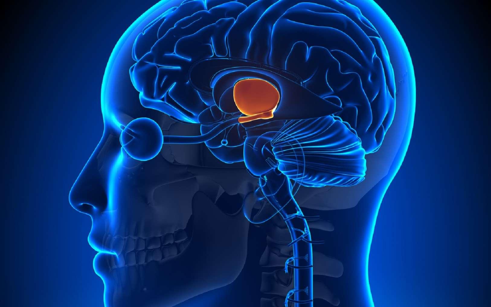 La GnRH est libérée par l'hypothalamus. © decade3d, Fotolia