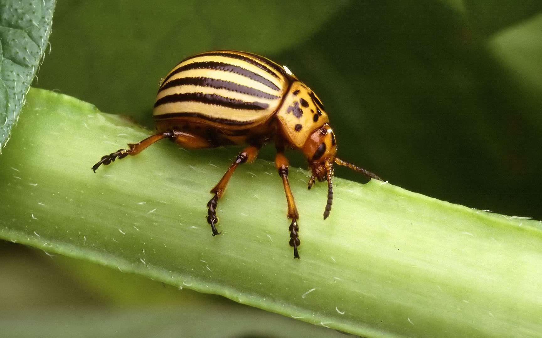 Leptinotarsa decemlineata - Doryphore. Leptinotarsa decemlineata – Doryphore Coléoptère aux élytres jaunes rayés de noir de la famille des chrysomélidés, le doryphore est un ravageur des feuilles de pommes de terre et autres solanées (tomates, aubergines, piments, tabac…). Originaire du Colorado, l'espèce se cantonnait à une seule espèce de solanée sauvage : solanum rostratum (morelle rostrée). Lorsque l'homme introduisit la pomme de terre dans cette région située au pied des Montagnes Rocheuses vers 1850, le doryphore trouva la plante à son goût, et émigra alors à sa suite à travers tout le pays. Il fut arrêté par l'Océan Atlantique sur les rivages duquel il patienta jusqu'à la fin de la Première Guerre Mondiale, pour finalement parvenir en Europe. Là il proliféra au point de devenir un véritable fléau pour les cultures de nos tubercules préférés. © Scott Bauer - USDA ARS, Domaine public