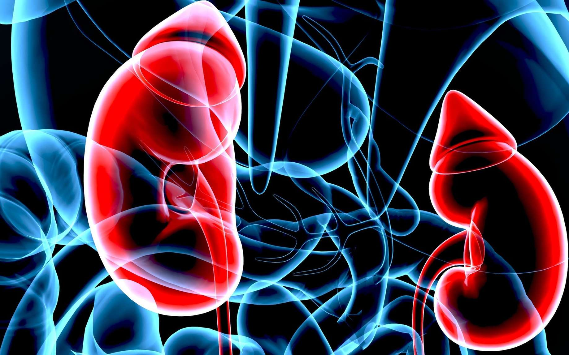 Un cancer du rein peut être traité. Les reins filtrent le sang et produisent l'urine. © PIC4U, Fotolia