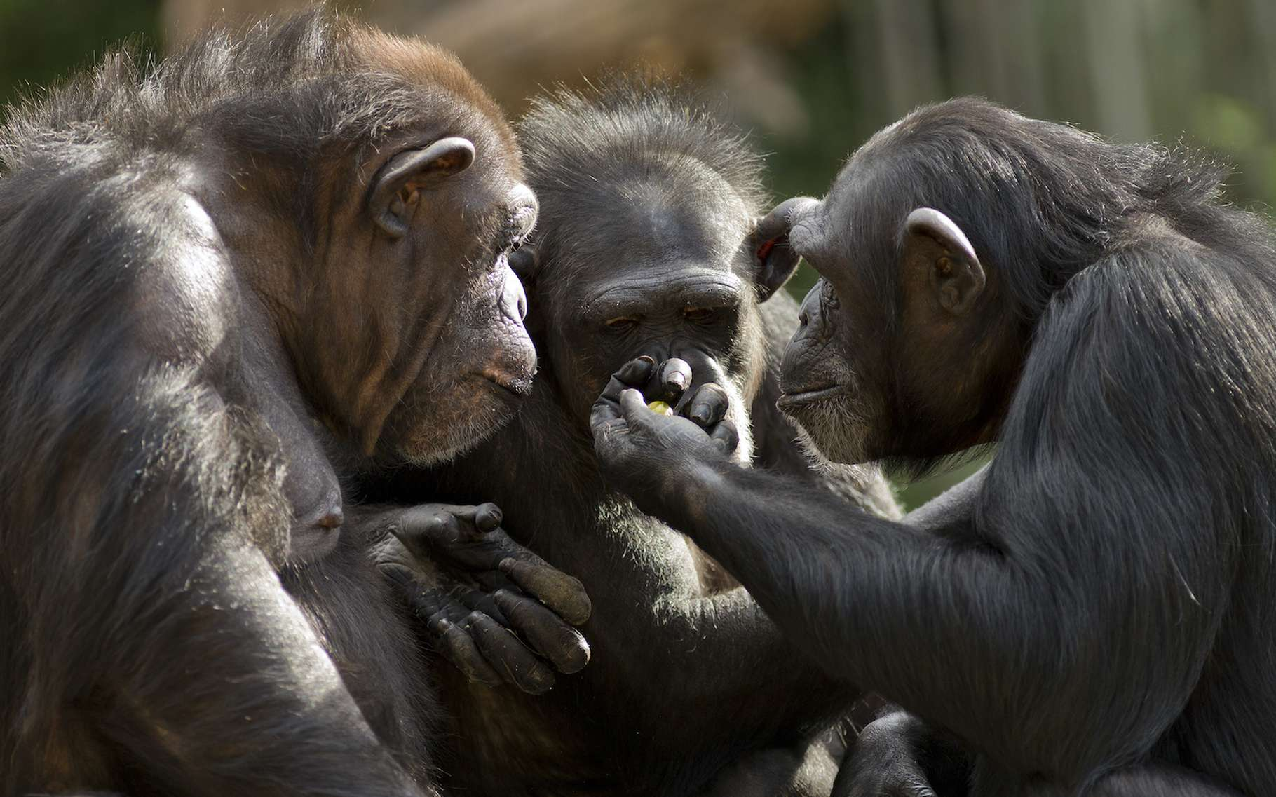 Au parc national de Loango (Congo), des chimpanzés ont été observés se réunissant pour tuer des gorilles. Un comportement qui surprend les chercheurs. © Patrick Rolands, Adobe Stock
