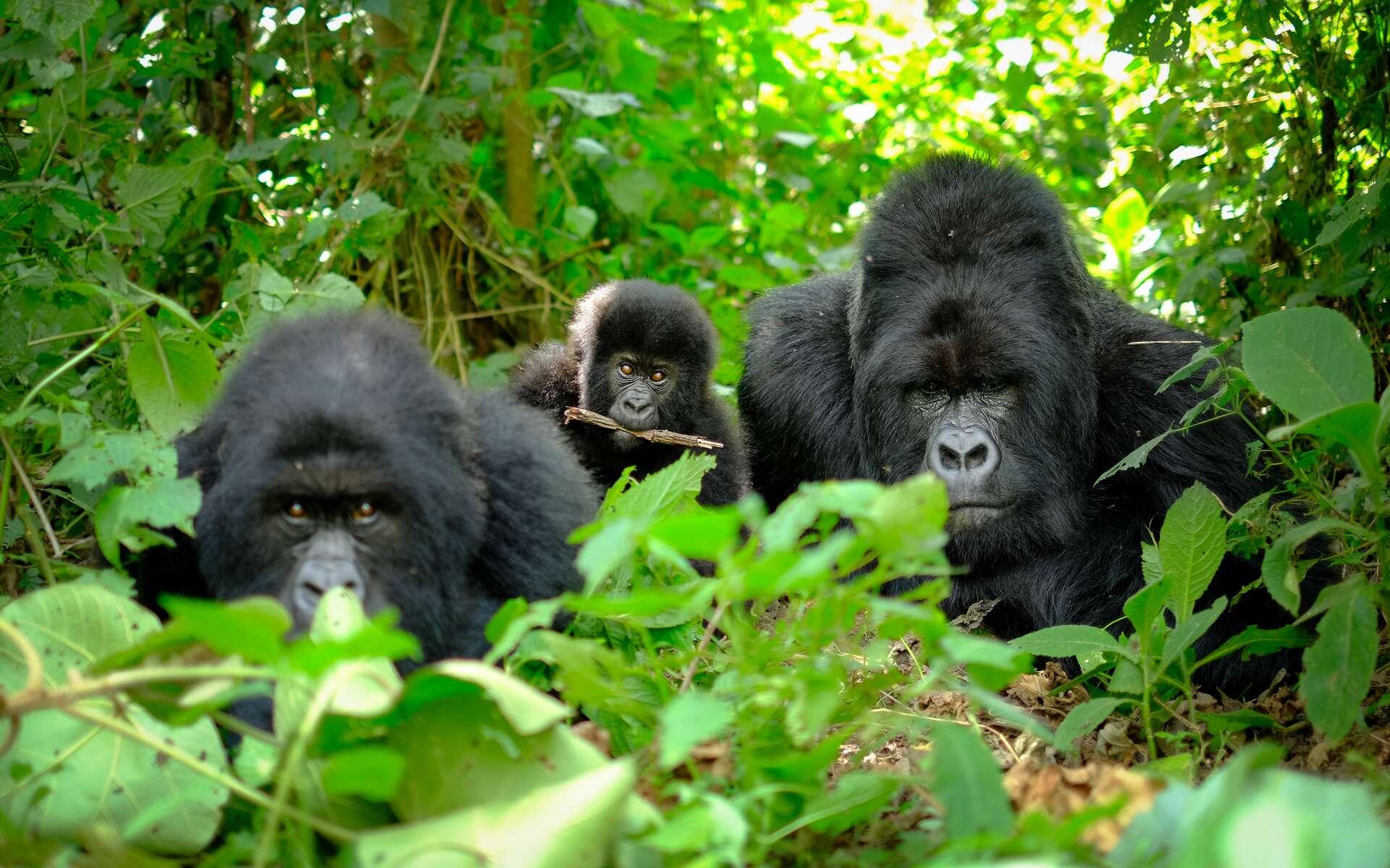 Une famille de gorilles au Rwanda. © Marian, Adobe Stock