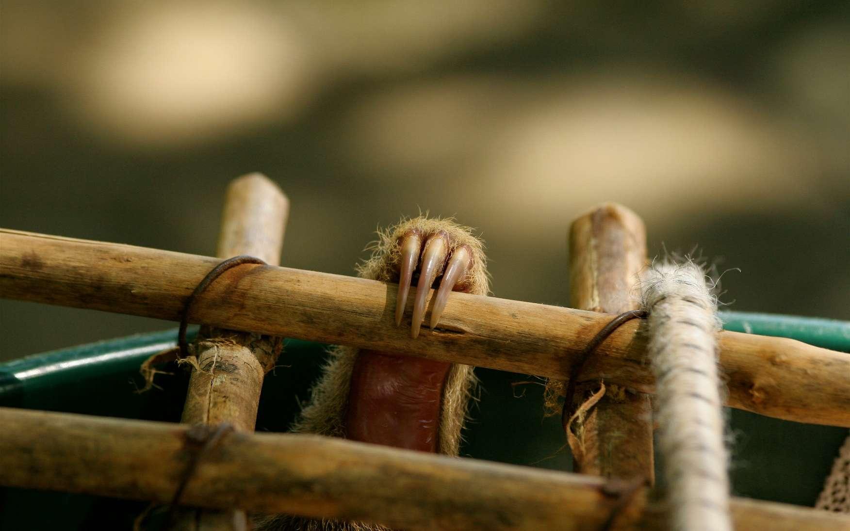 Pourquoi appeler paresseux à deux doigts un animal qui en a manifestement trois ? Parce que seuls les membres antérieurs en possèdent deux. Les pattes arrière, comme celle que l'on voit à l'image, disposent toujours de trois doigts. © Alumroot, Flickr, cc by nc 2.0