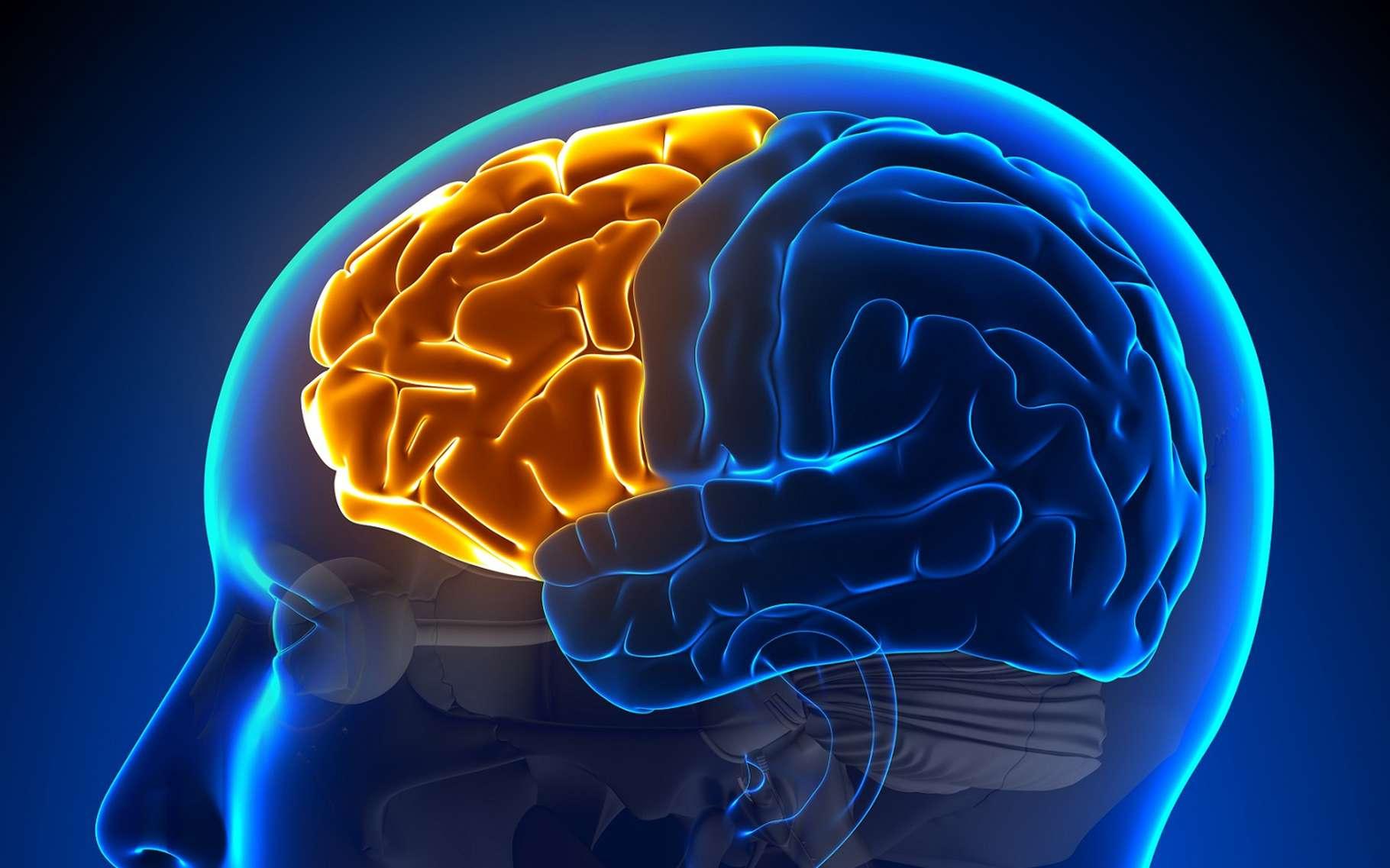 Le cortex préfrontal (en orange sur l'image) constitue la partie antérieure du lobe frontal. © decade3d - anatomy online, Shutterstock