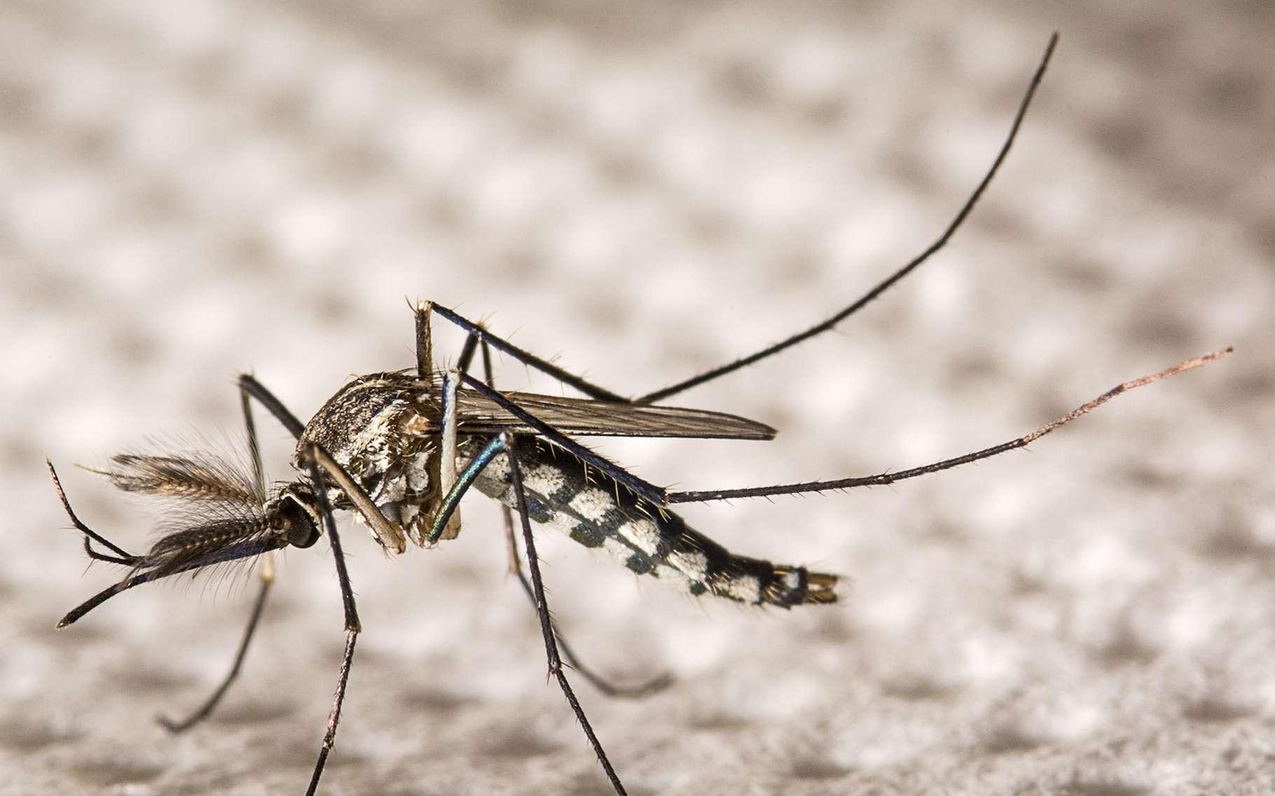Le virus Zika, qui se transmet par la piqûre de moustique, est associé à la microcéphalie des nouveau-nés. Une recherche suggère pourtant qu'il pourrait être une arme contre le cancer du cerveau. © nuwatphoto, Shutterstock