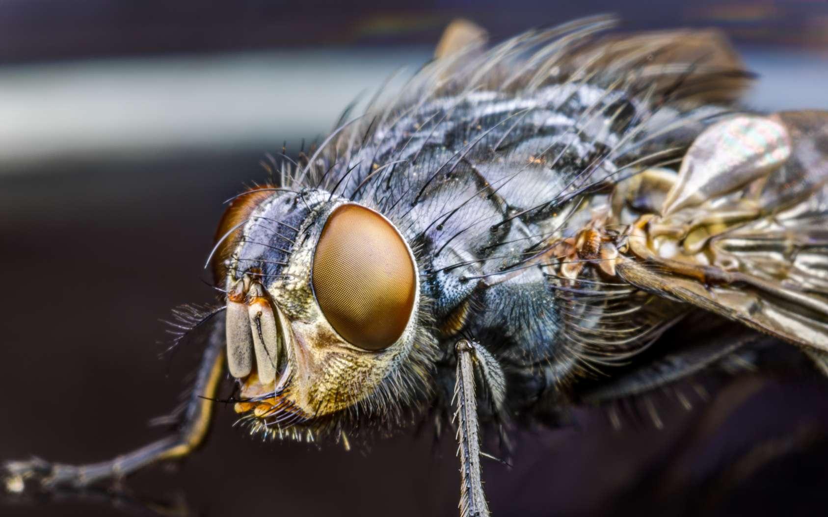 Gros plan sur une mouche. © altmis, fotolia