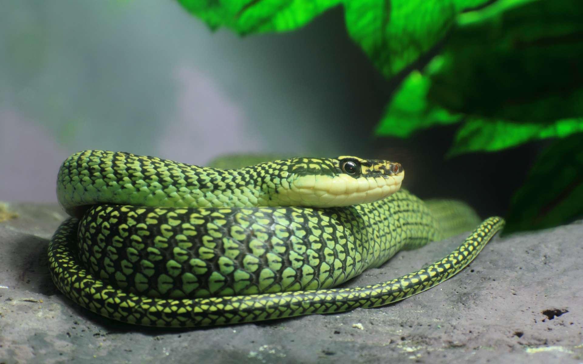 Un serpent du genre Chrysopelea (ici, Chrysopelea ornata) enroulé sur une pierre. © joefotofl