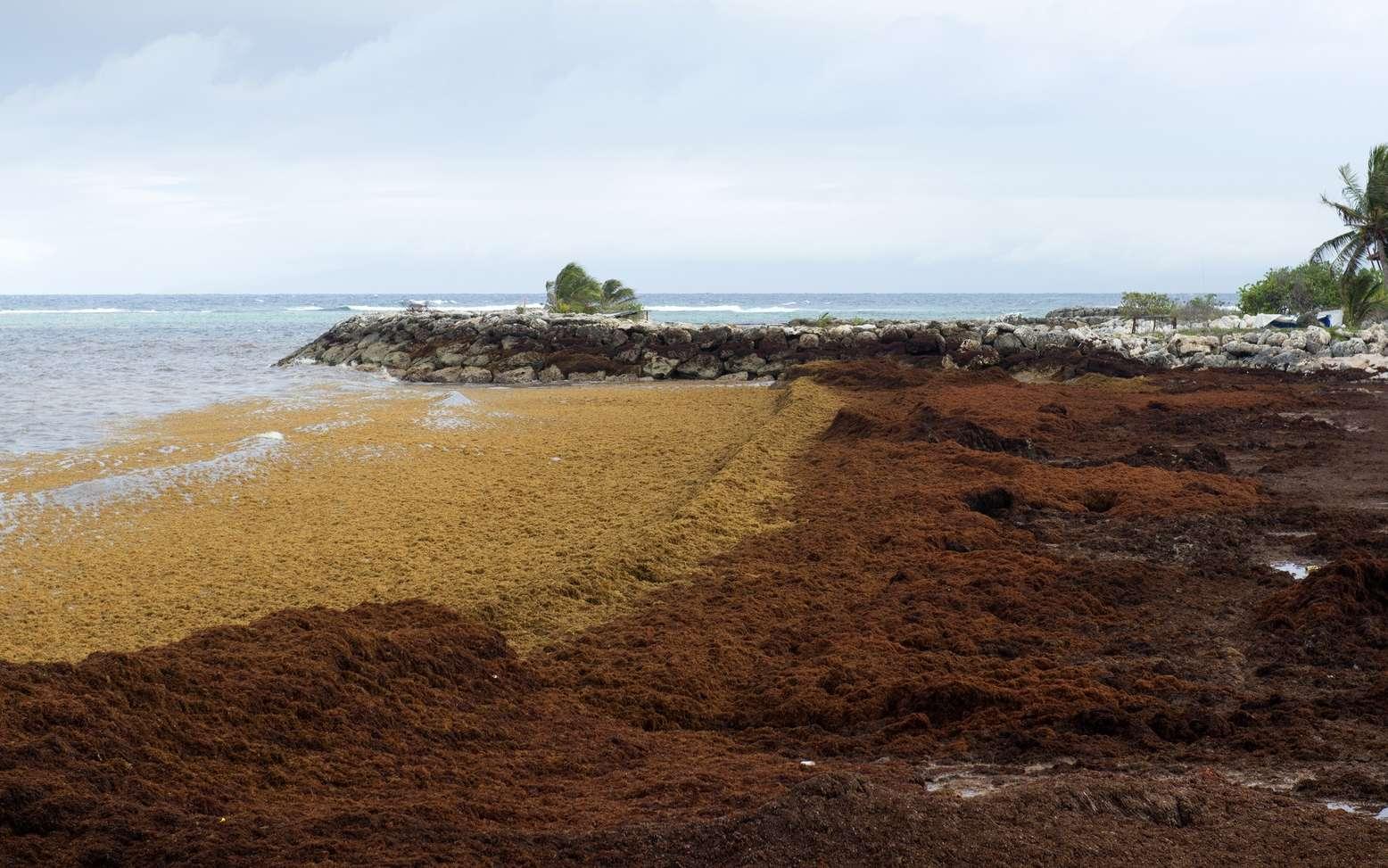 La décomposition des algues sargasses sur les côtes antillaises génère de nombreux problèmes sanitaires. © Nathie, Fotolia