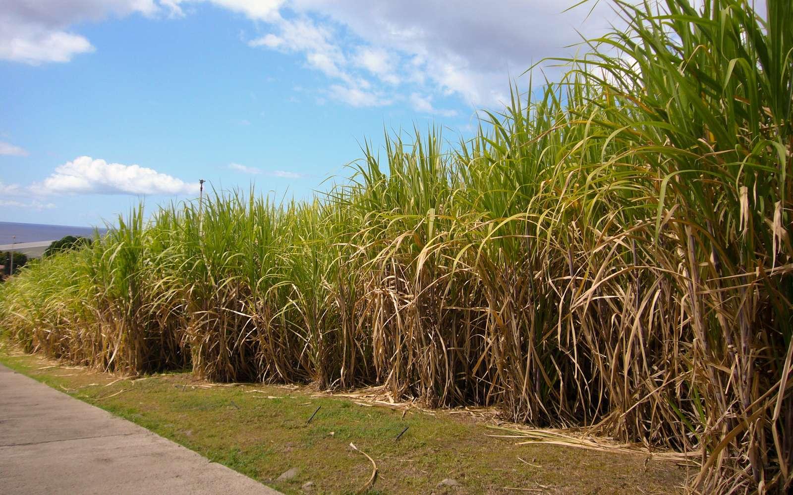Plantation de canne à sucre pour du biocarburant, matière première nécessaire à la fabrication d'éthanol. Elle est la première plante cultivée à l'échelle de la planète et représente ainsi 23 % de la masse agricole produite. © Romain Decker, cc by nc nd 2.0