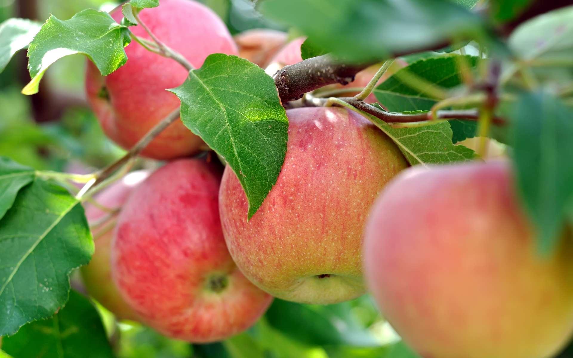 Les pommes seraient bénéfiques pour la santé et pour la ligne ! © beerfan, Adobe Stock