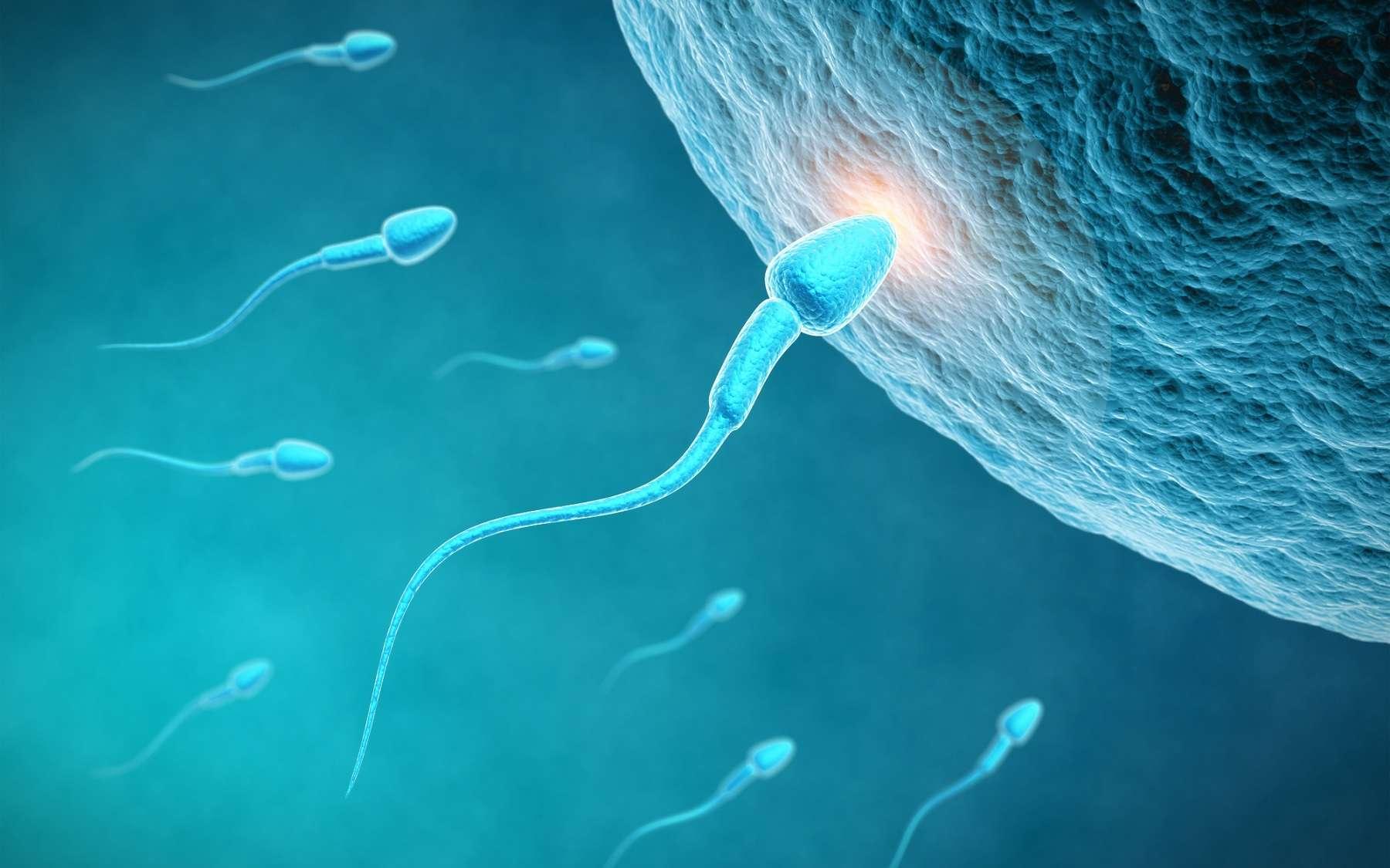 Fabriquer des spermatozoïdes in vitro permettrait de résoudre des problèmes d'infertilité masculine mais l'heure n'est pas encore aux essais cliniques. © Sashkin, Shutterstock