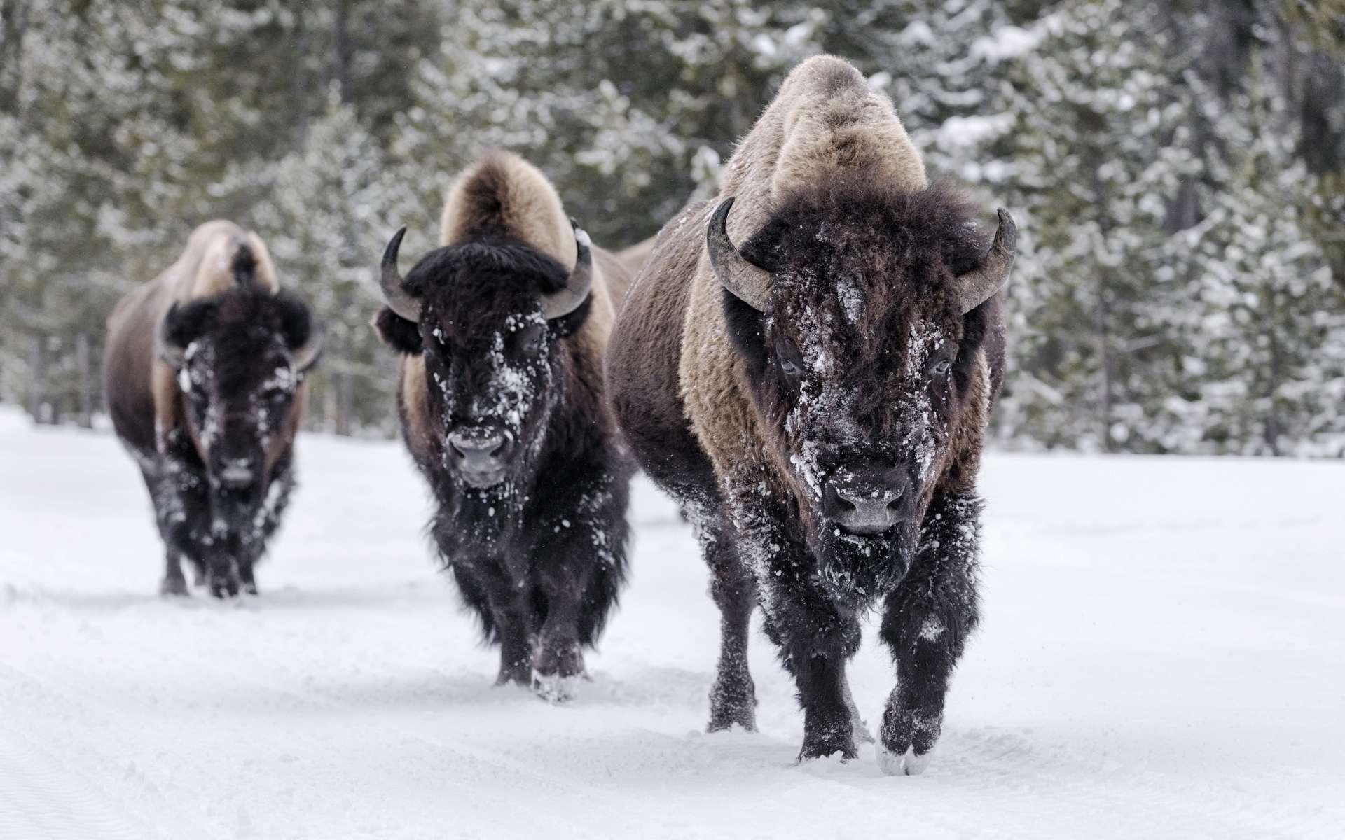 Les bisons américains sont des descendants des bisons des steppes qui vivaient aussi en Europe il y a plusieurs dizaines de milliers d'années. Leurs ancêtres sont arrivés en Amérique du Nord en profitant d'une ère glaciaire. © David Osborn, Shutterstock