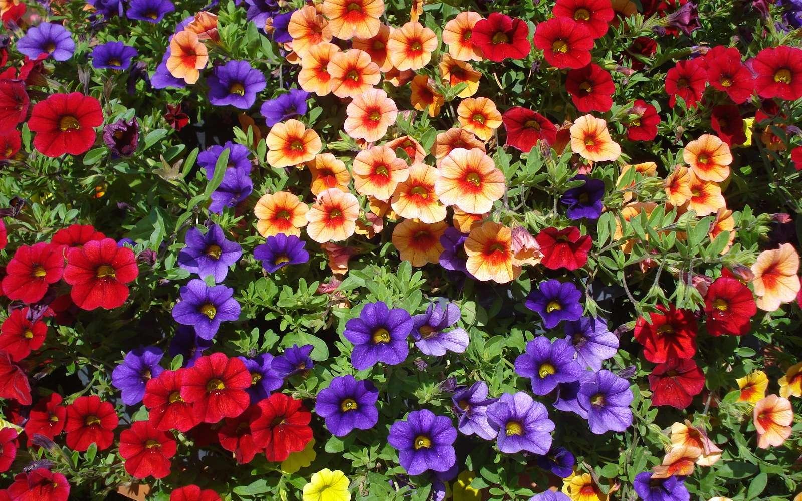 Explosion de couleurs avec cet ensemble de variétés de calibrachoas. © Adinamnt, Adobe Stock