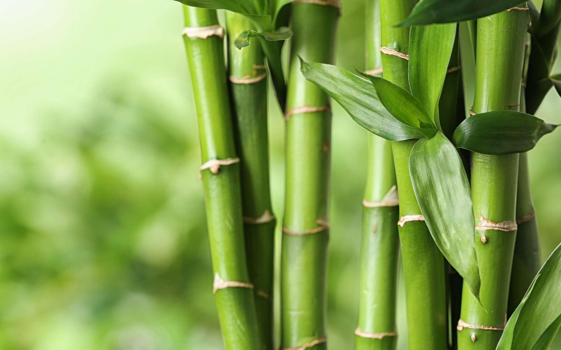 Des chercheurs ont identifié, au cœur du bambou, une structure similaire à celle du bois lamellé croisé industriel. Et ils sont parvenus à la relier à ses propriétés thermiques. De quoi, espèrent-ils, améliorer l'efficacité énergétique des bâtiments en bambou. © New Africa, Adobe Stock