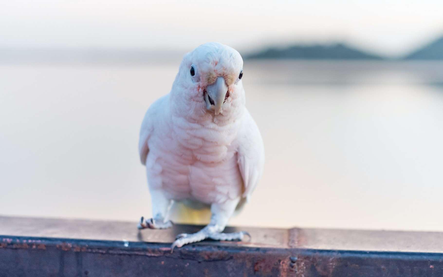 Le cacatoès est un oiseau intelligent. Les chercheurs en ont accumulé des preuves depuis plusieurs années maintenant. Mais ils continuent d'en apprendre plus sur ce drôle d'animal. Qui vient même de montrer des signes de culture. Décidément, il n'est pas si bête, le cacatoès. © sunyawitphoto, Adobe Stock