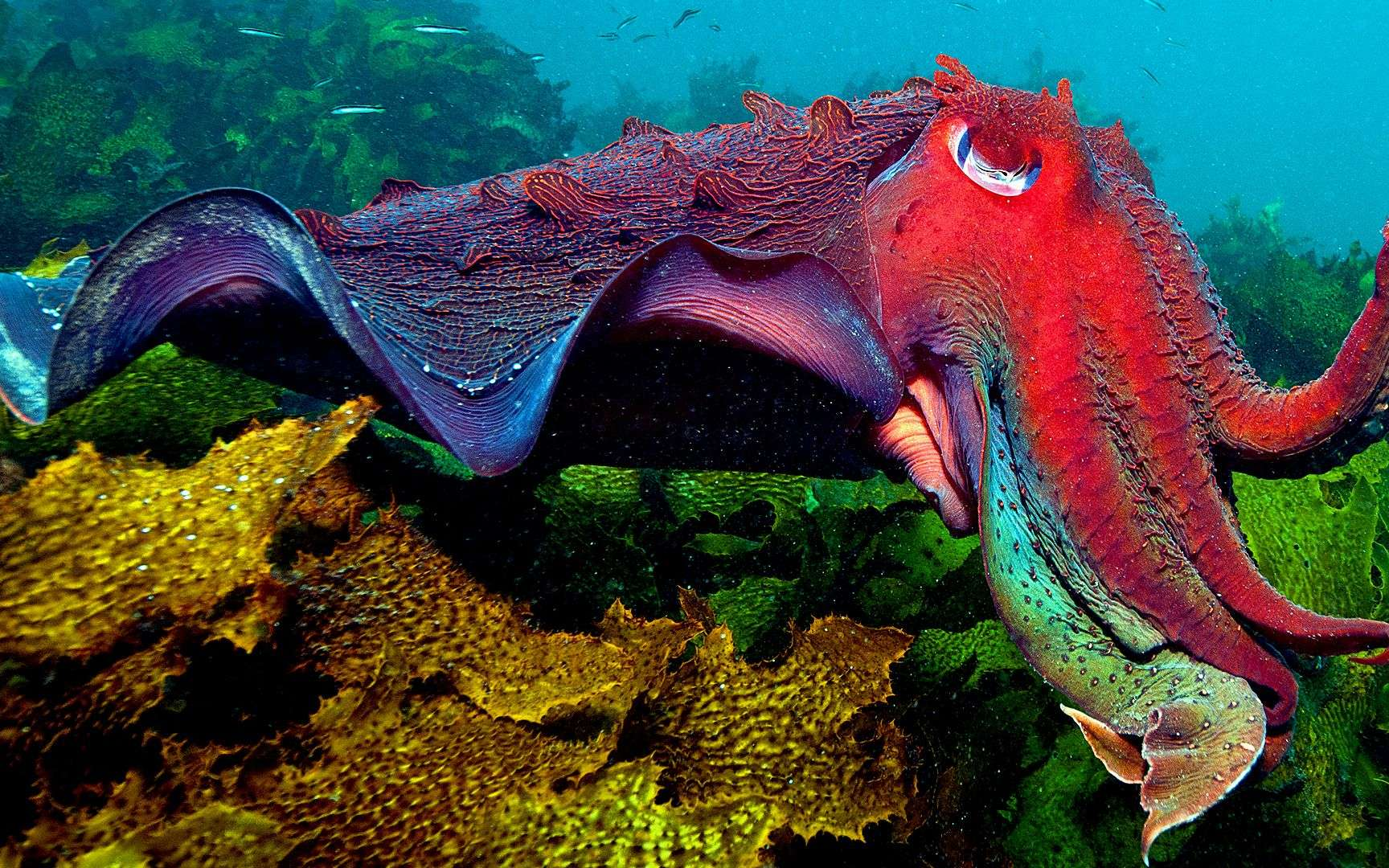 L'impressionnante seiche géante australienne. La seiche géante australienne (Sepia apama) est l'une des plus grandes espèces de seiches au monde. Comme son nom l'indique, on la retrouve sur les côtes australiennes allant du sud du Queensland à l'Australie-Méridionale. Localisation : Sydney (Australie). © Catlin Seaview Survey, Underwater Earth, Jayne Jenkins