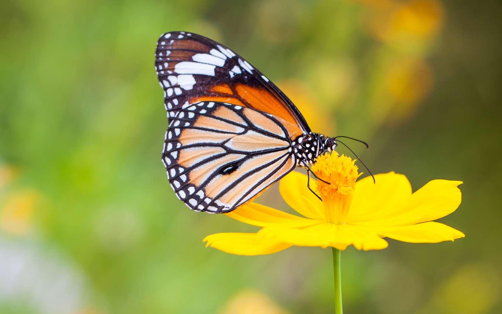 Les ocelles sur les ailes des papillons sont des motifs formés par les écailles pigmentées qui peuvent servir d'ornements de camouflage pour les prédateurs. © beerphotographer, Fotolia