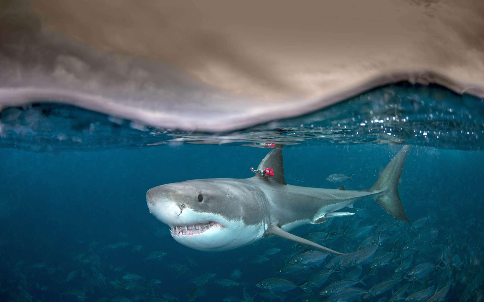 Le grand requin blanc est capable de produire de la chaleur pour contrôler sa température interne. © Andrew Fox