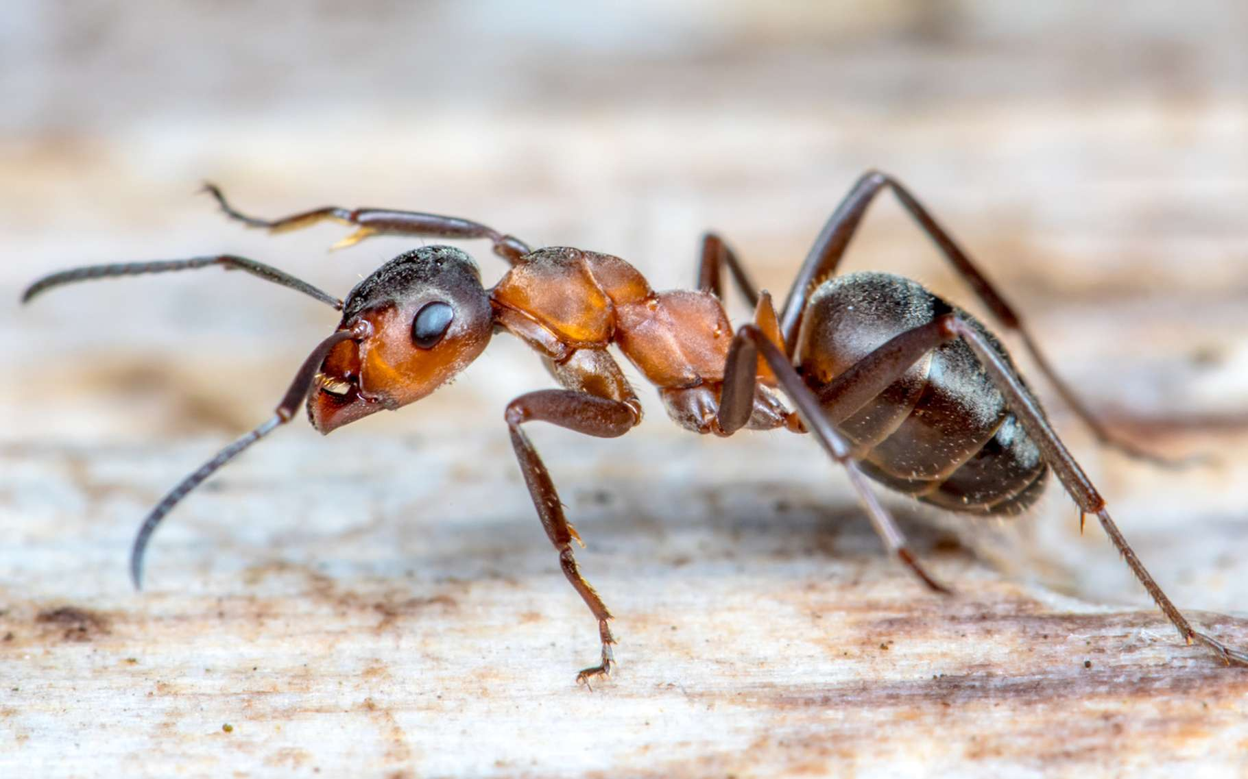 Chez les Formica, il existe de nombreuses espèces, parmi lesquelles, des fourmis esclavagistes. Mais comment en sont-elles venues à adopter ce comportement? © Rainer Fuhrmann, Fotolia