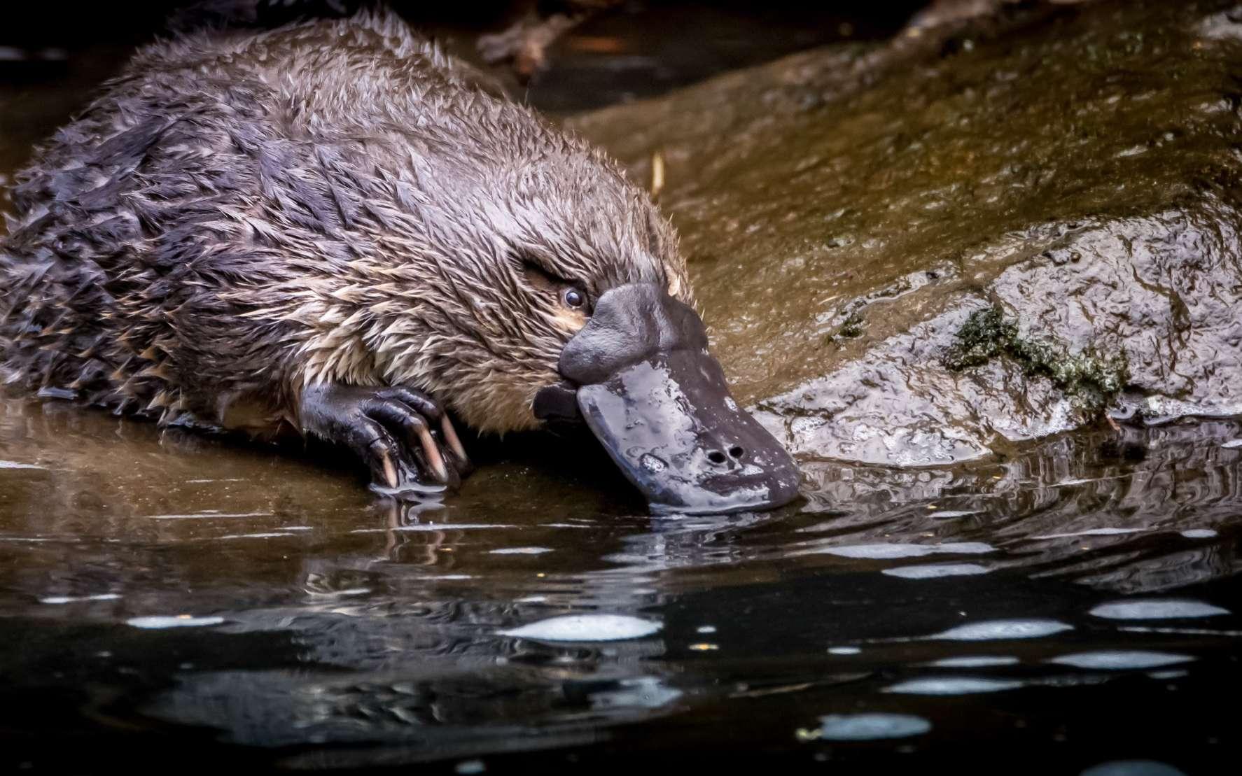En Australie, l'ornithorynque est sous forte pression à cause du climat. © Ash, Adobe Stock