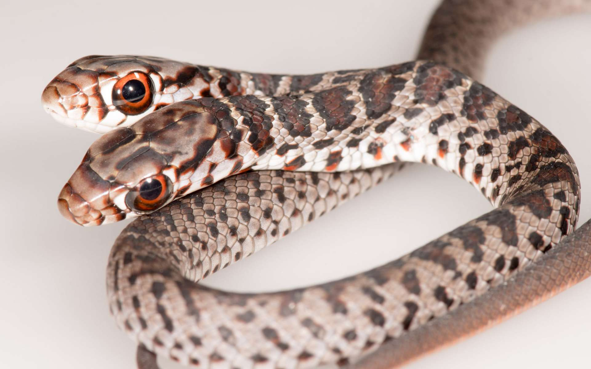 Un serpent à deux têtes non coordonnées !