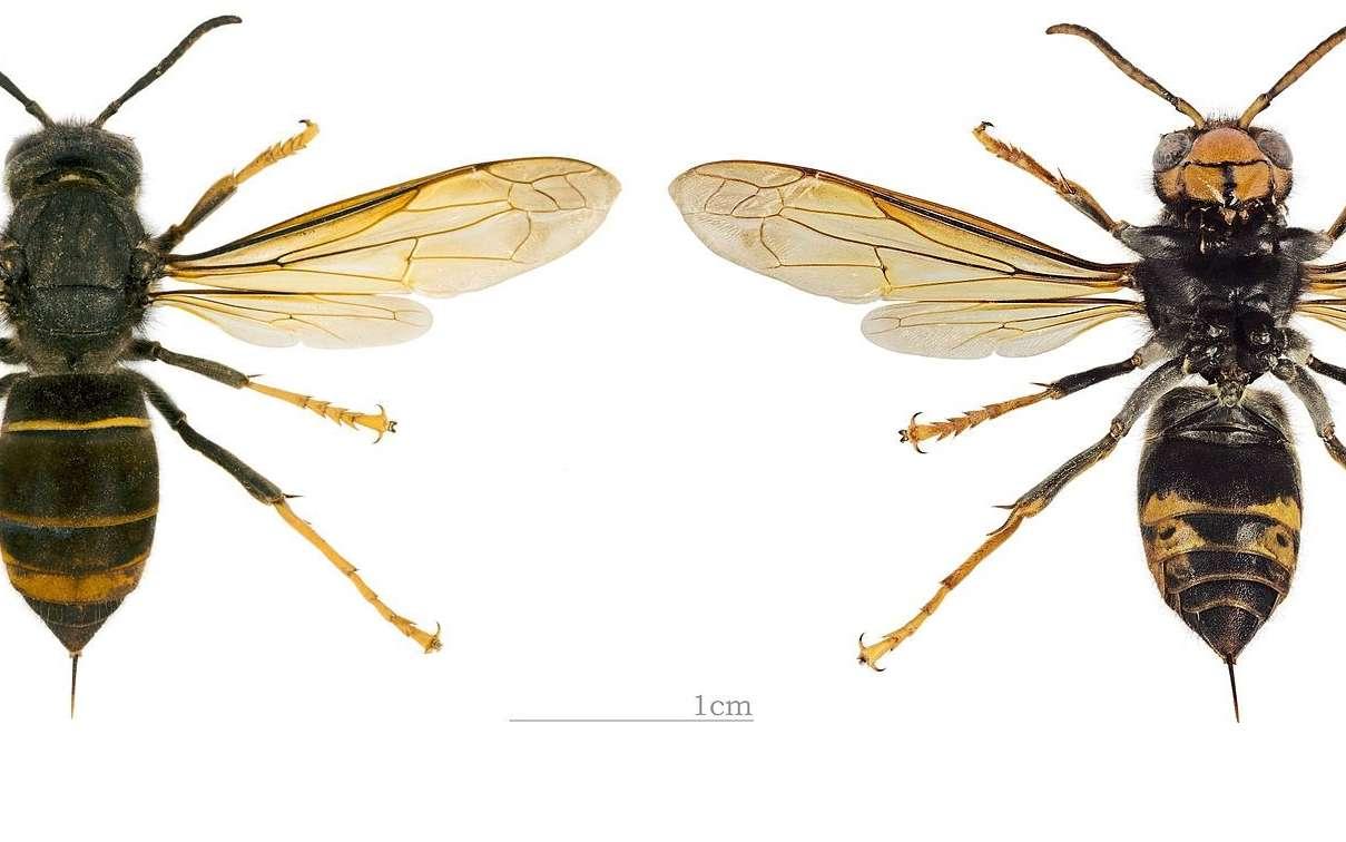 Le frelon asiatique (Vespa velutina nigrithorax) est un hyménoptère de grande taille reconnaissable à ses pattes jaunes et son thorax noir. © Didier Descouens, CC by-sa 3.0