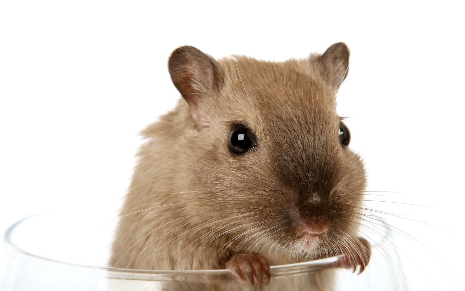 Après une période d'entraînement, les rats sont parvenus à se guider dans un labyrinthe, simplement en s'appuyant sur les pensées d'un humain. C'est une première.