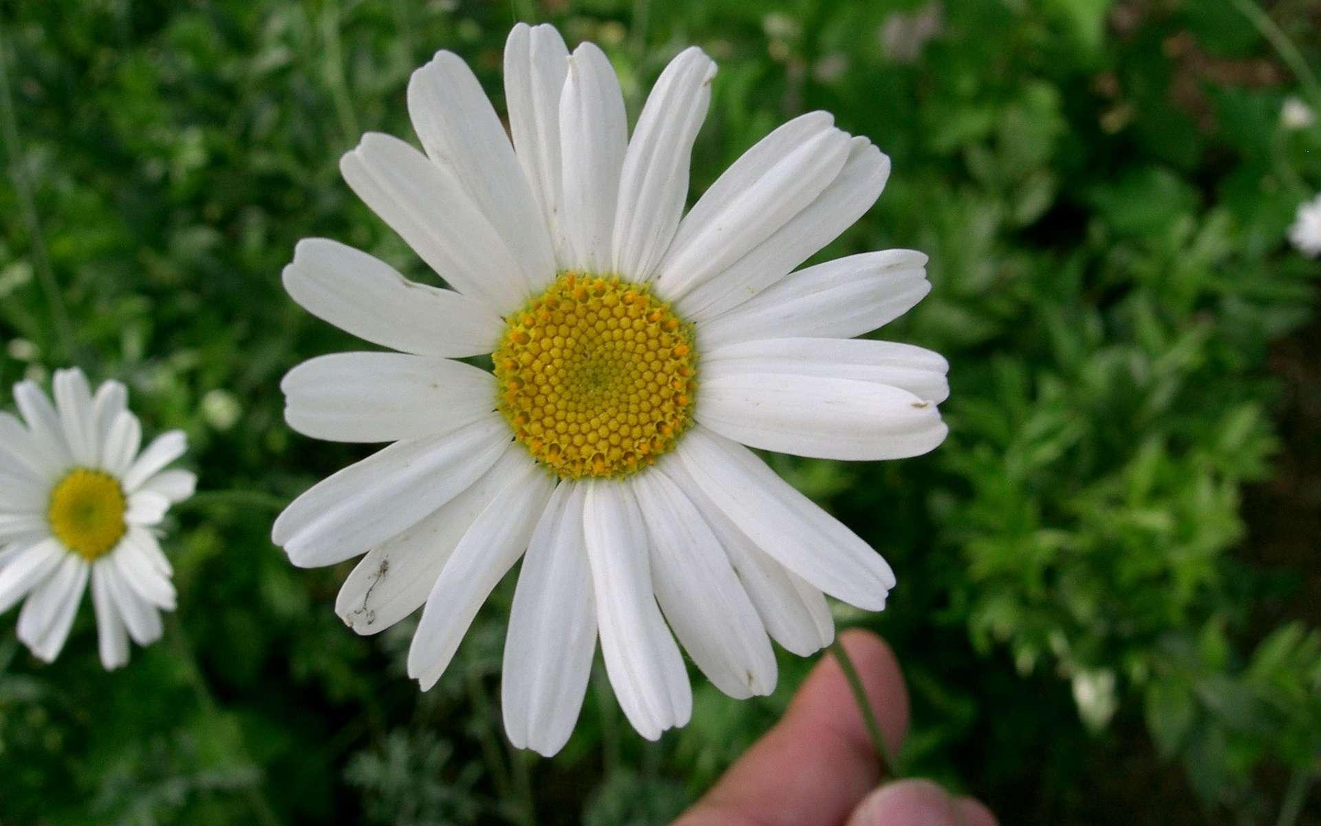 Le pyrèthre, pesticide naturel, peut-il être utilisé au jardin ? © Kenpei, Wikipédia, CC by-sa 3.0