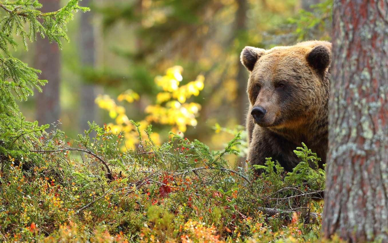 Le grizzly a la réputation d'avoir un très bon odorat. De là à sentir les changements dans le cycle menstruel de la femme ? © Diliff, Wikipédia, cc by 2.5