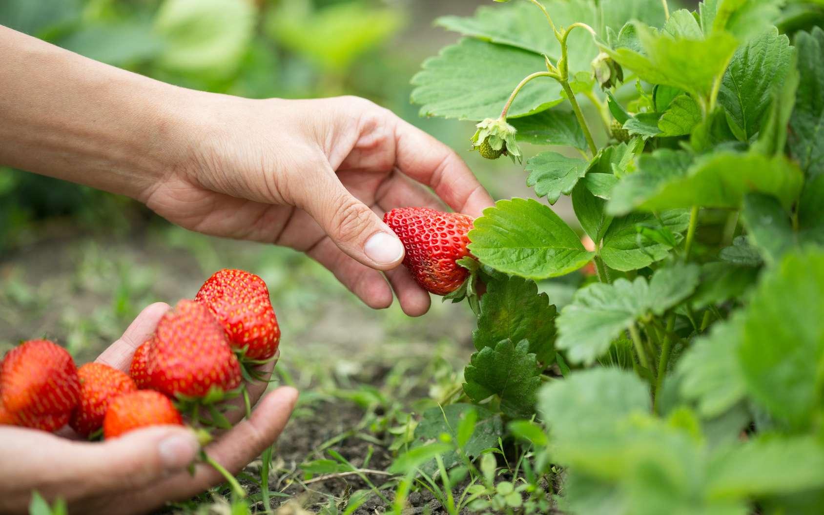 L'automne est la saison idéale pour planter des pieds de fraisiers. © Evgenia Tiplyashina, Fotolia