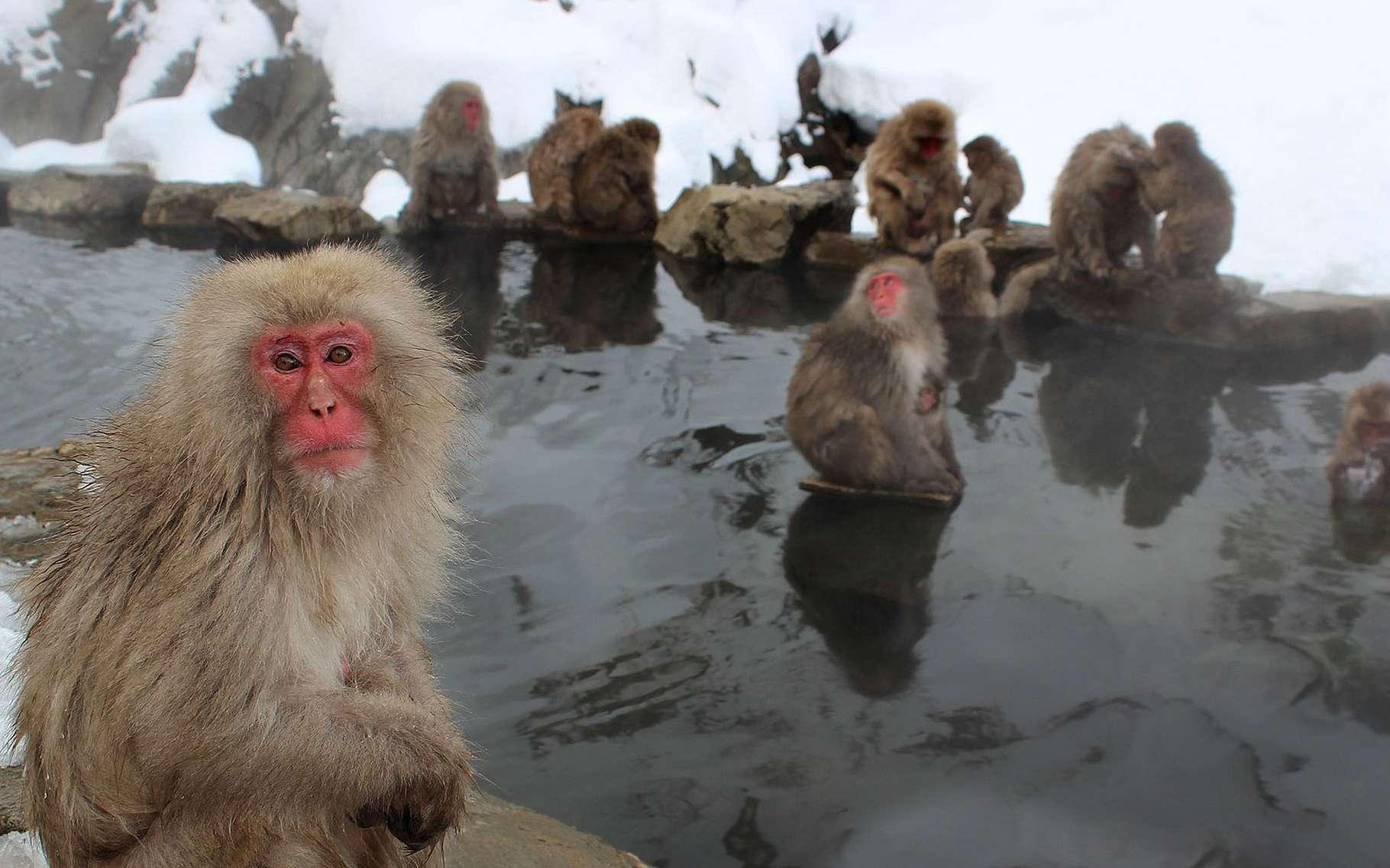 Le macaque japonais (Macaca fuscata) a depuis longtemps adopté les bains dans les sources d'eau chaude en hiver car les températures descendent jusqu'à -20 °C et la neige tombe en quantité abondante. Il est le plus septentrional des primates. Le macaque s'est illustré pour ses grandes capacités d'apprentissage et ses facultés à transmettre un « savoir-faire ». Au Japon, il symbolise la sagesse sous la forme d'un triptyque : « Ne rien voir de mal, ne rien entendre de mal, ne rien dire de mal. »Les macaques japonais. © andrew_t8 CC0, Pixabay.