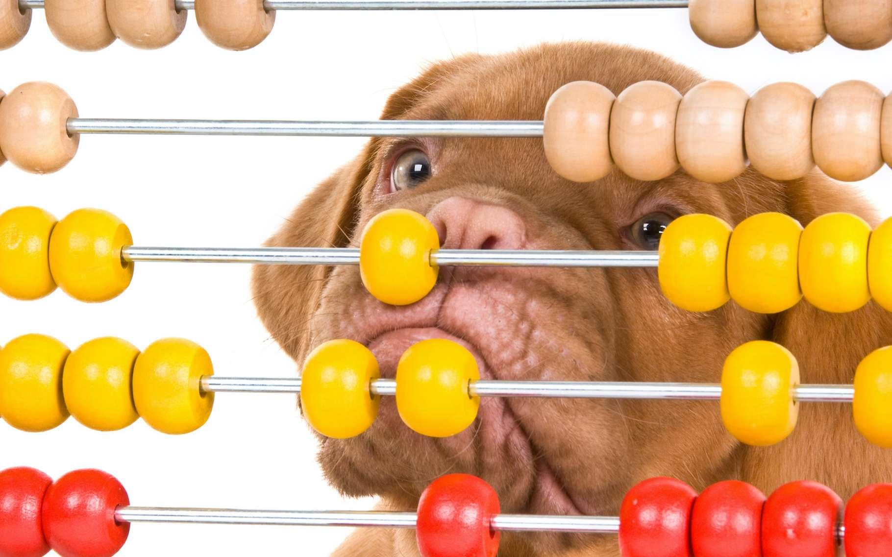 Les hommes et les chiens sont séparés par 80 millions d'années d'évolution. Ainsi, les chercheurs de l'université Emory (États-Unis) qui viennent de découvrir chez les chiens, une sensibilité aux nombres, montrent que celle-ci résulte d'un mécanisme neuronal partagé qui remonte au moins aussi loin. © VitalyTitov, Adobe Stock