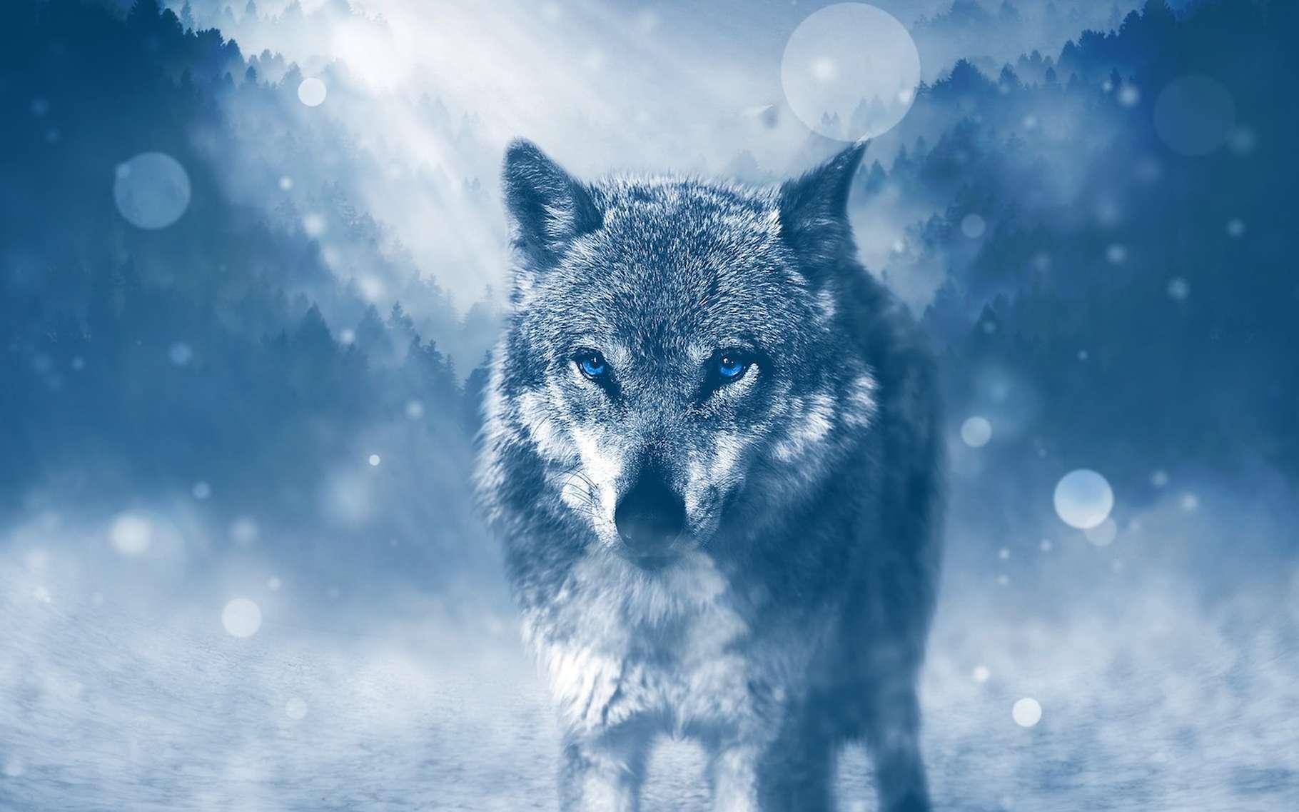 Le loup gris — celui-là même qui nous fait tant peur — était jadis le mammifère le plus répandu sur Terre. En France, aujourd'hui, il est classé «en danger» et jouit du statut d'espèce protégée. © Comfreak, Pixabay, DP