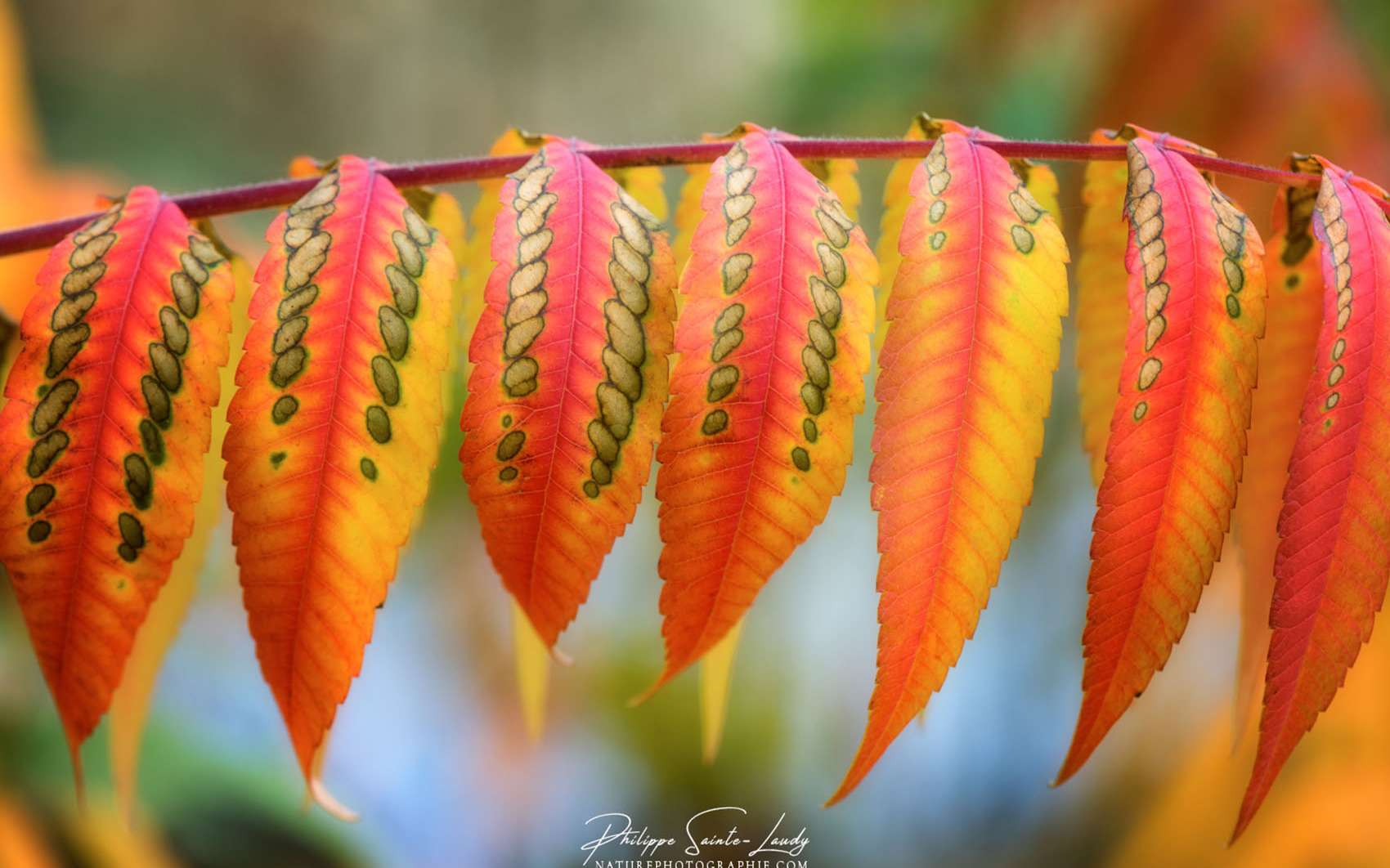 Équilibre parfait des tons chauds sur cette branche d'un sumac de Virginie. Dame Nature a pris ses pinceaux et a méticuleusement posé ses couleurs d'automne sur ces feuilles parfaitement alignées. © Philippe Sainte-Laudy. Tous droits réservés