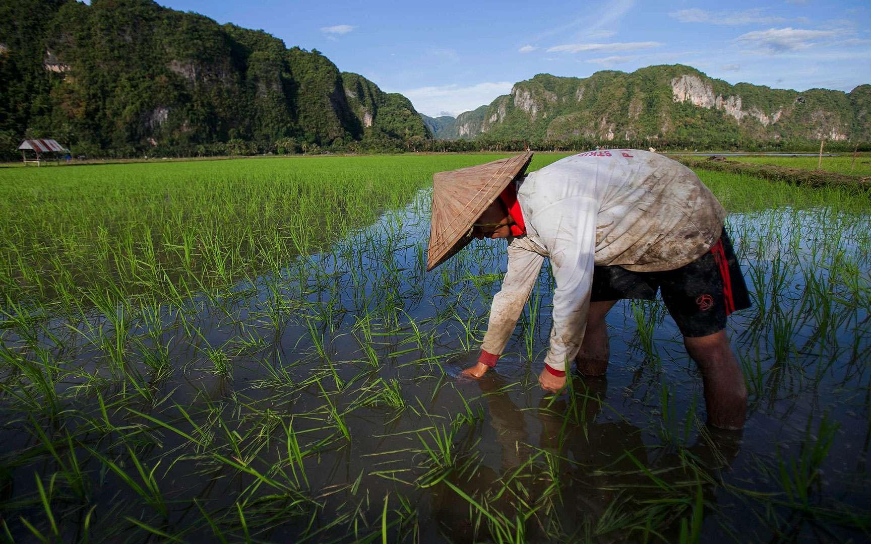 Le riz, aliment emblématique de l'Asie. Long ou rond, le riz est essentiellement cultivé en Asie ; sa culture s'est aussi développée sur d'autres continents, comme en Camargue, en France. La culture du riz en Asie remonte à plus de 10.000 ans. Le riz pousse dans des régions humides et ensoleillées, dans des rizières, notamment des rizières en terrasses. Il représente la première céréale cultivée dans le monde pour l'alimentation humaine. © cifor, CC by-nc 2.0