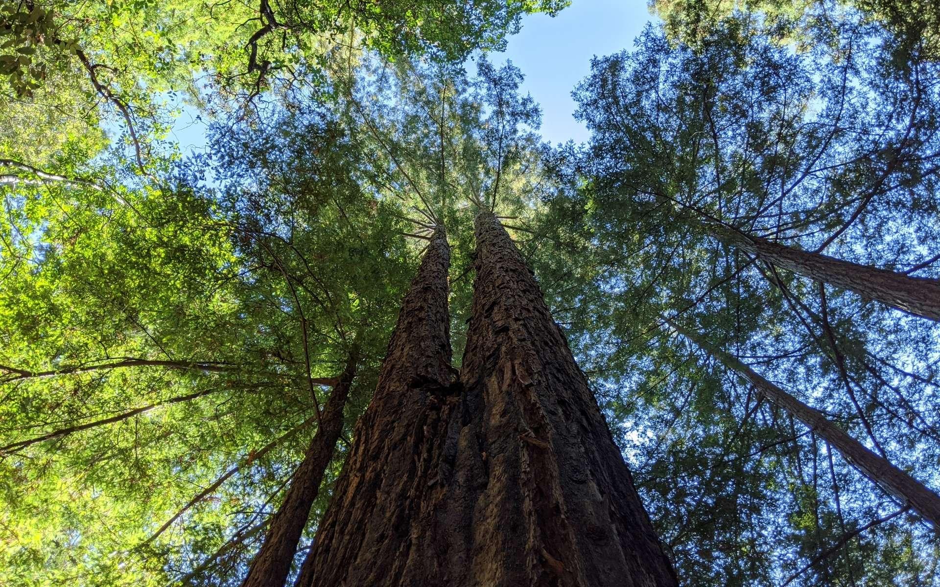 Le séquoia à feuilles d'if est le plus grand arbre vivant connu. © attilaolah, iNaturalist