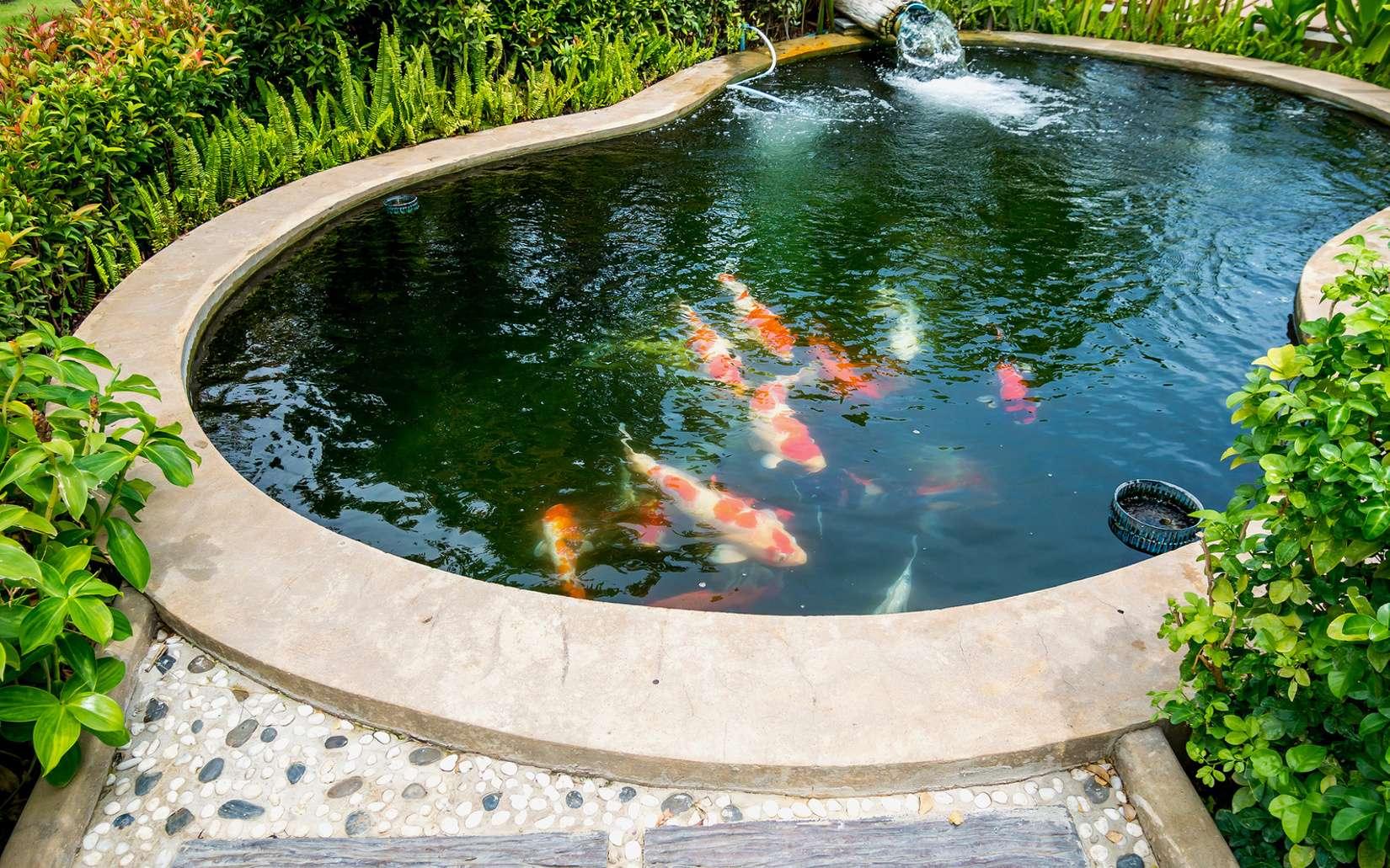Bassin de jardin : quand introduire des poissons ? Ici, des carpes koï. © Kwangmoo, Fotolia