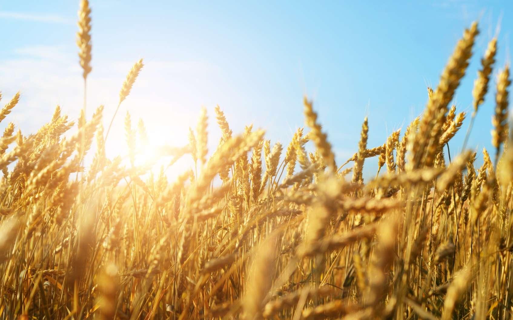 Le blé est une espèce polyploïde. © Olena Mykhaylova, Fotolia