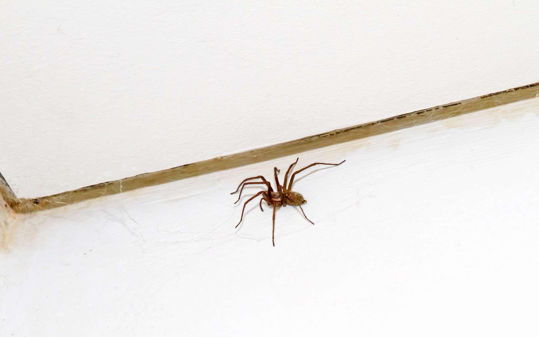 C'est à la mi-septembre et aux alentours de 19 h 35 qu'un maximum d'araignées sont observées dans nos maisons. Le résultat d'un mode de vie et/ou de biais d'observations. © Jürgen Fälchle, Fotolia