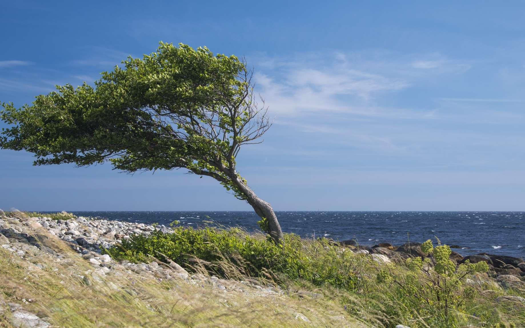 En Provence, de nombreux arbres sont torturés par le mistral. Le vent peut souffler avec des pointes à plus de 100 km/h plusieurs jours d'affilée. © rkris, fotolia