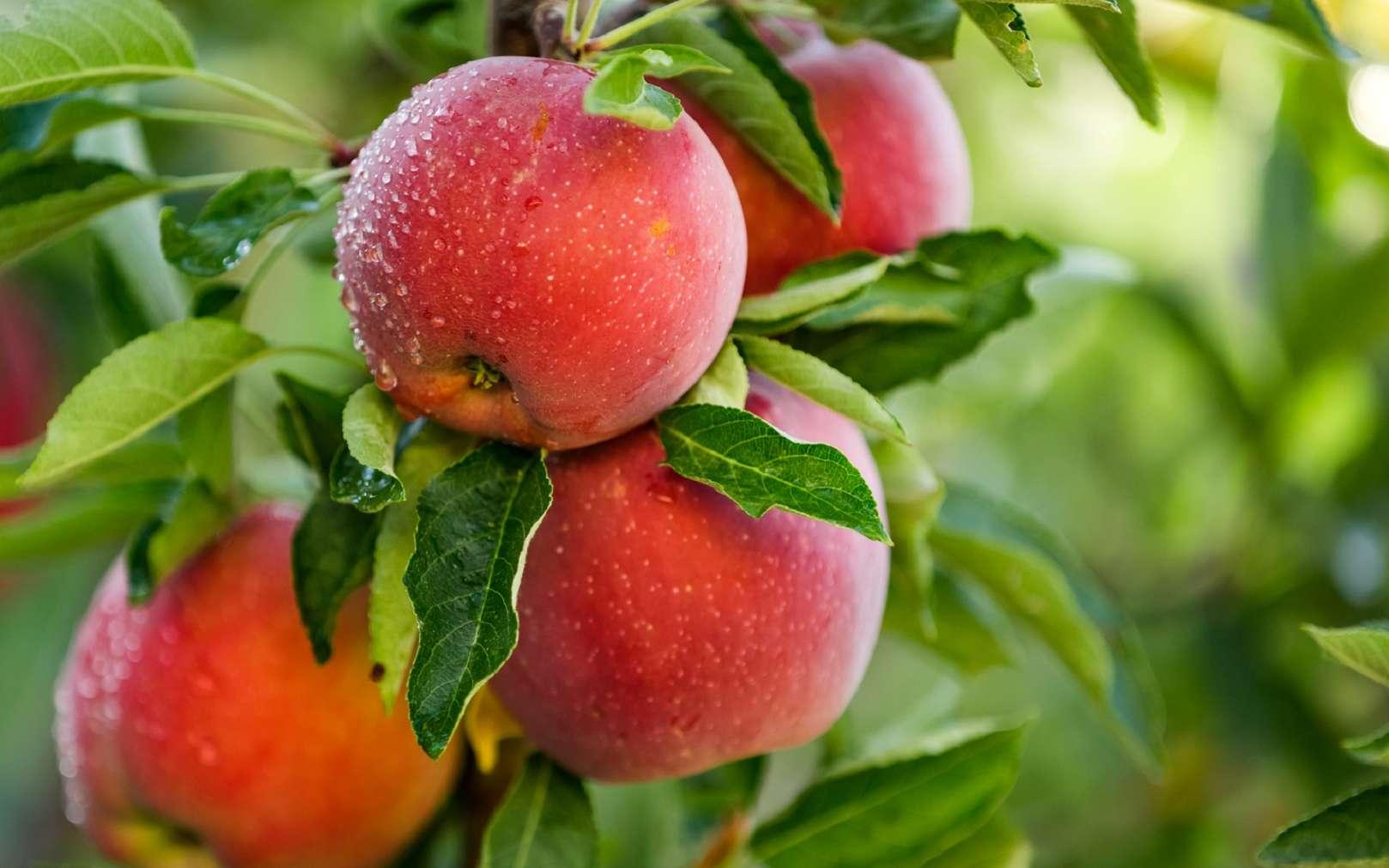 La pomme est l'un des fruits les plus consommés au monde. © Mariusz Blach, Fotolia