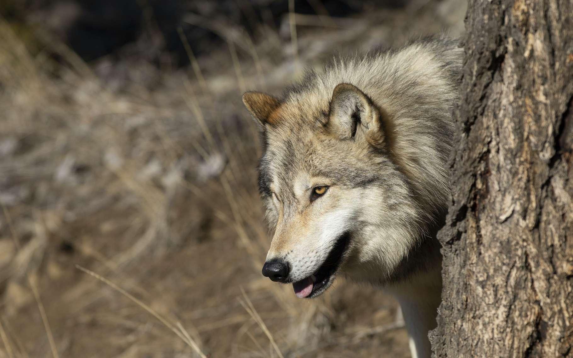 Dans l'esprit du rewilding, la réintroduction de loups dans le parc national de Yellowstone (États-Unis) a été bénéfique à l'ensemble de l'écosystème local. © Dennis Donohue, Adobe Stock