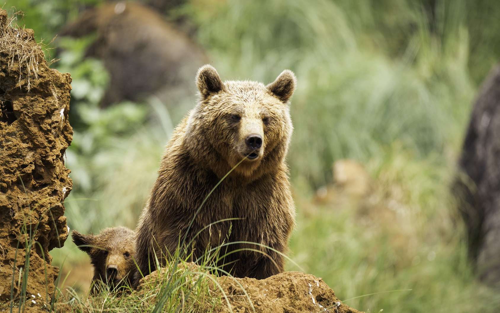 Photo d'un grizzly © crazyphotoal, fotolia