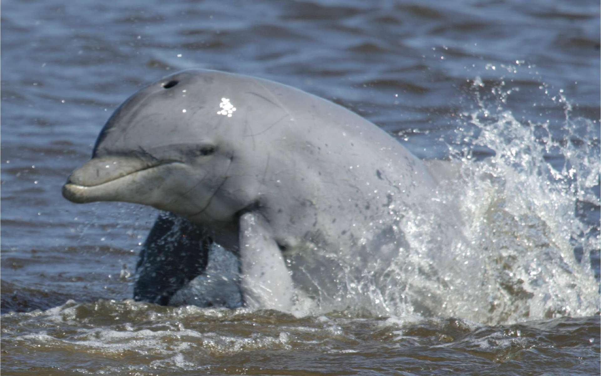 Le Grand dauphin est une sentinelle écologique. Son état de santé est révélateur de celui des écosystèmes marins mais aussi des populations côtières. © Brian Balmer / Sarasota Dolphin Research Program