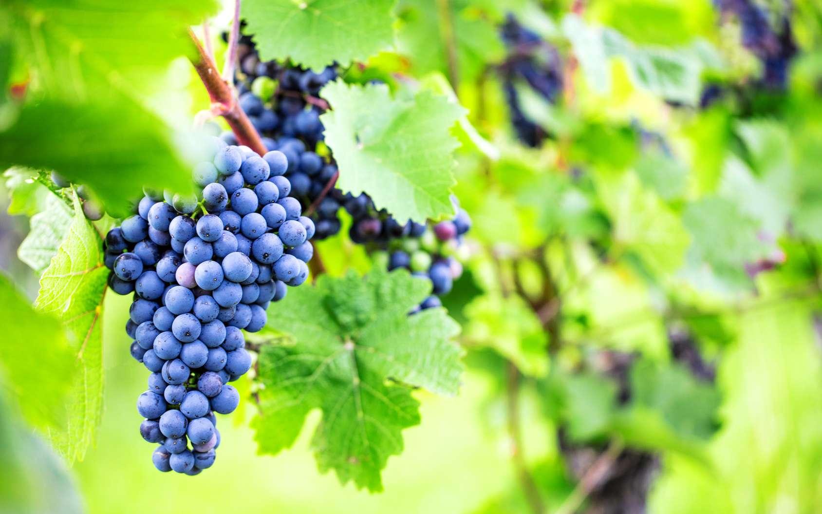 Pour mériter le label bio, défini à l'échelle européenne, le vin doit être produit avec des raisins provenant de l'agriculture biologique et élaboré en respectant un certain nombre de contraintes sur les traitements. © karepa, fotolia