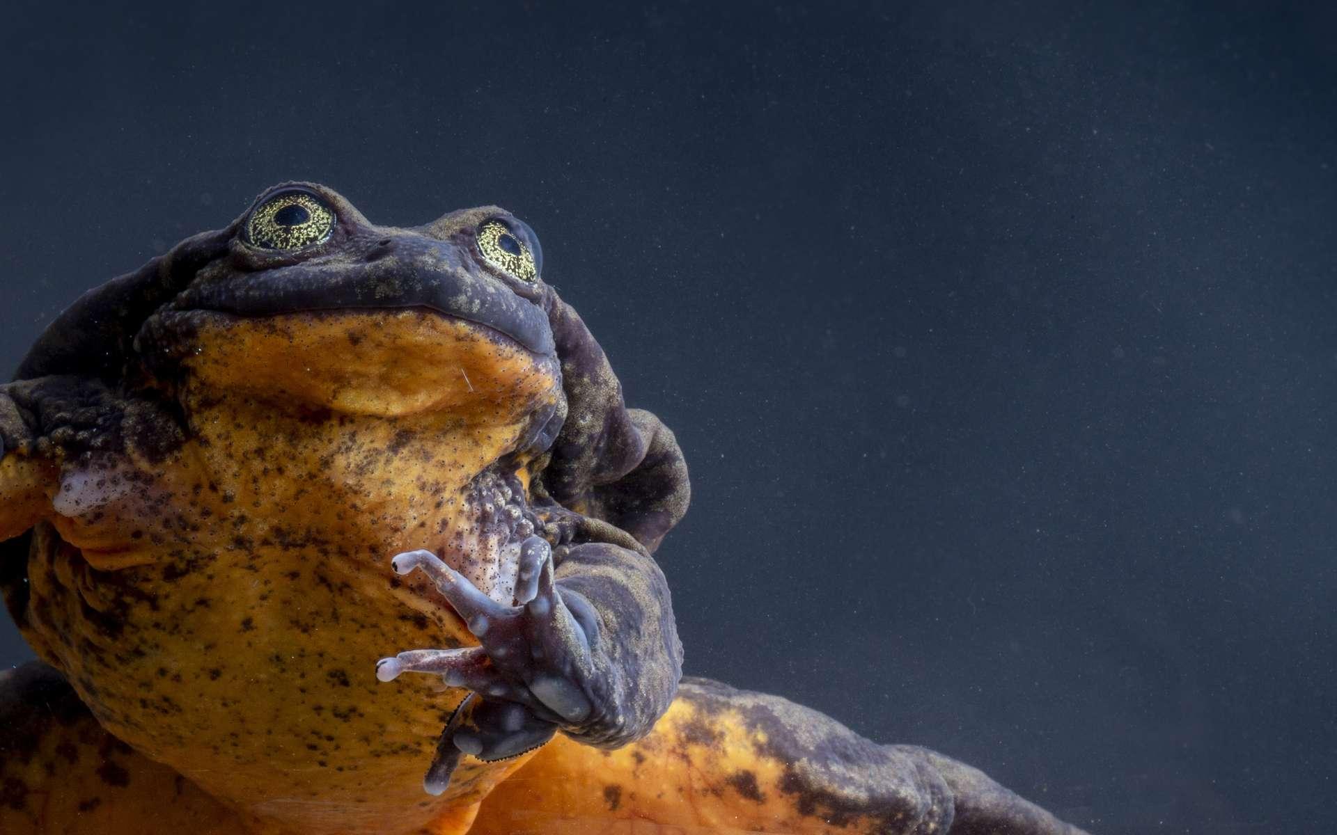 Ô le beau Roméo ! Cela fait 10 ans que cette grenouille aquatique de Sehuencas mâle est célibataire. Il est un des derniers membre de cette espèce qui peuplait autrefois les cours d'eau de Pojo et Comarapa, en Bolivie. © Robin Moore, Global Wildlife Conservation