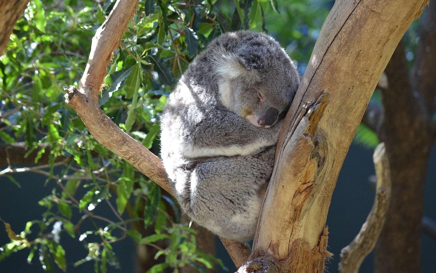 Le koala est l'animal qui dort le plus au monde. Pas moins de 22 heures par jour! © LonewolfAlphaCoders, Pixabay, CC0 Public Domain