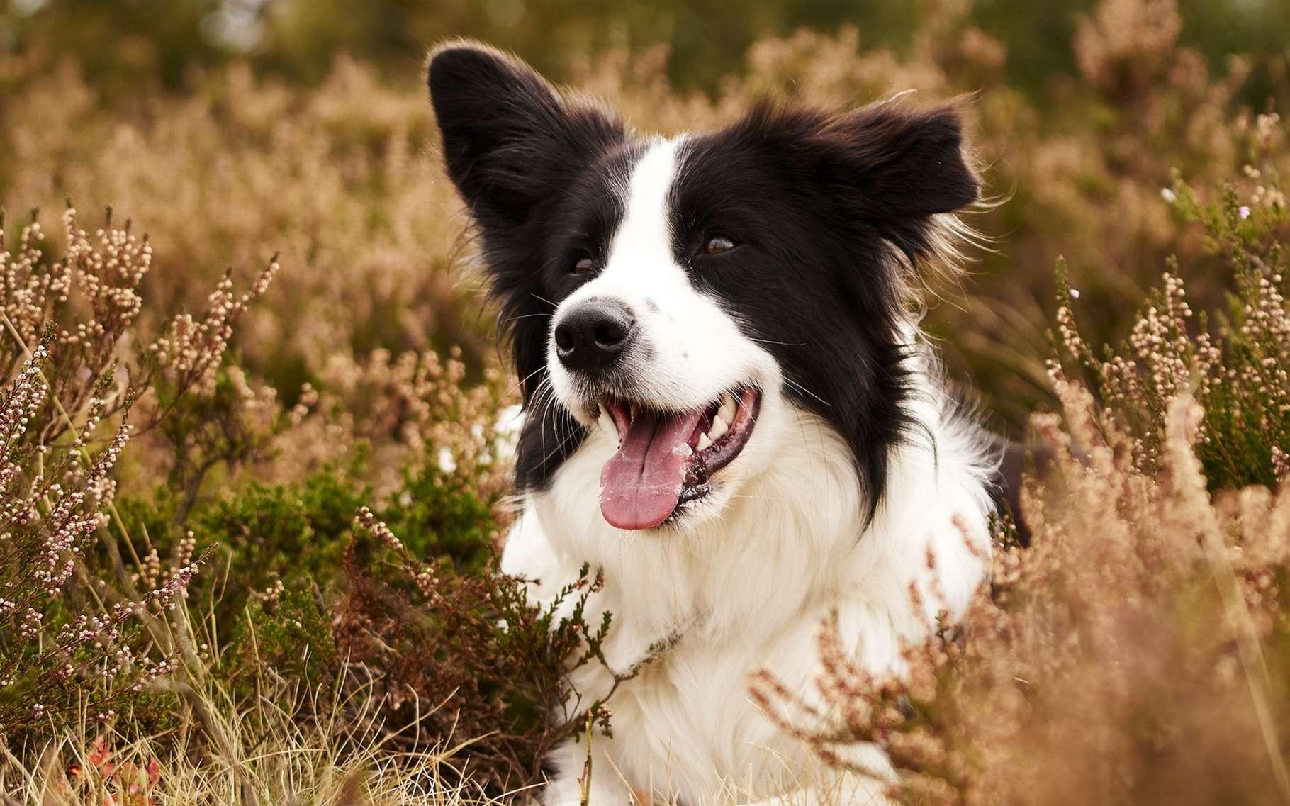 Le border collie est un chien de troupeau qui a besoin de faire beaucoup d'exercice. © LSphotoCZ, Shutterstock